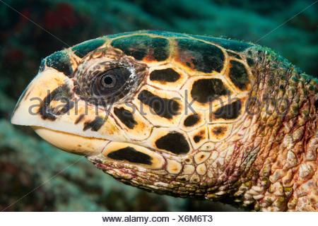 Head of Hawksbill Sea Turtle, Eretmochelys imbricata, Felidhu Atoll, Maldives - Stock Photo