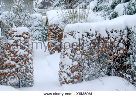 common beech (Fagus sylvatica), snow-covered beech hedge, Germany, Saxony - Stock Photo