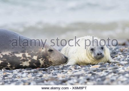 Grey seal, also Atlantic or horsehead seal (Halichoerus grypus) with pup, Heligoland, Schleswig-Holstein, Germany - Stock Photo