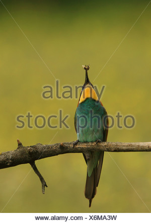 European bee eater (Merops apiaster), with prey in bill, Hungary - Stock Photo