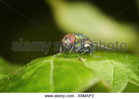 green Calliphora vicina - Stock Photo