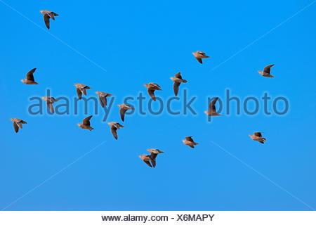 Namaqua sandgrouses (Pterocles namaqua), flock of birds in flight, Etosha National Park, Namibia - Stock Photo