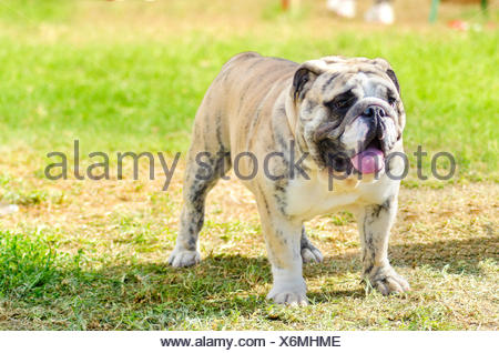 A small, young, beautiful, fawn brindle and white English Bulldog standing on the grass while sticking its tongue out and looking playful and cheerful. - Stock Photo