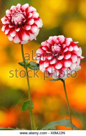 georgina (Dahlia 'Checkers', Dahlia Checkers), bicoloured flower heads of cultivar Checkers - Stock Photo