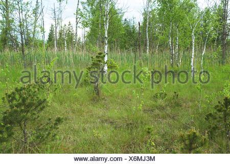 birches and conifers in raised bog in spring, Germany, Bavaria, Oberbayern, Upper Bavaria, Murnauer Moos - Stock Photo