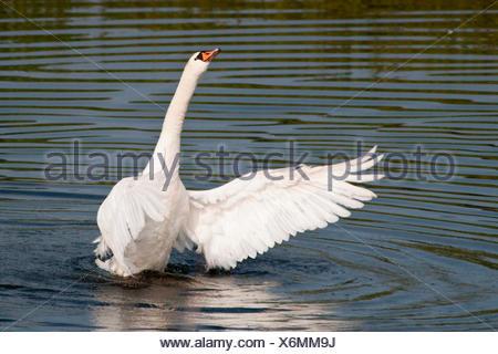 Mute Swan (Cygnus olor) spreading its wings, North Hesse, Hesse, Germany - Stock Photo