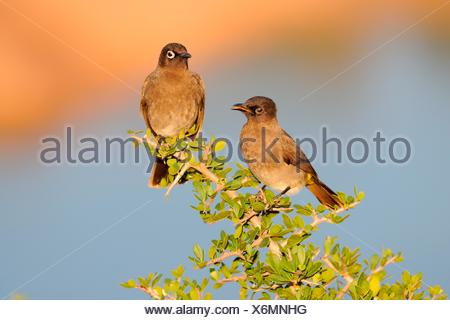 Two Cape Bulbuls (Pycnonotus capensis), perched on a branch, juvenile on the left, Addo Elephant National Park, Eastern Cape - Stock Photo
