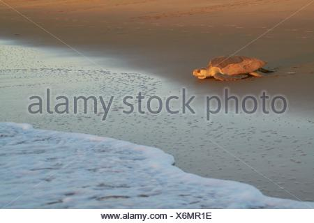 Olive Ridley sea turtle or Pacific Ridley sea turtle (Lepidochelys olivacea) - Cayenne - Remire-Montjoly beach - French Guiana - Stock Photo