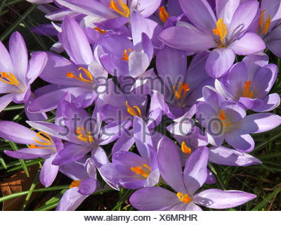 Crocus, Crocus tommasinianus, elfen crocus - Stock Photo