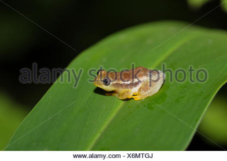 Spotted Madagascar Reed Frog, Andasibe Madagascar - Stock Photo