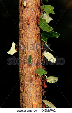 Leafcutter ants (Atta sexdens) transporting cut leaves, found in Central and South America, captive - Stock Photo