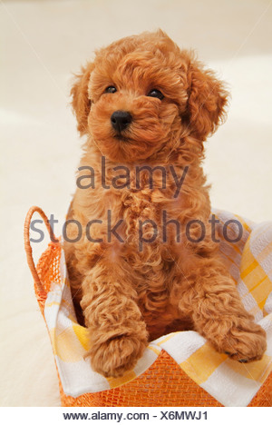 Close-up of a Toy poodle puppy in a basket - Stock Photo