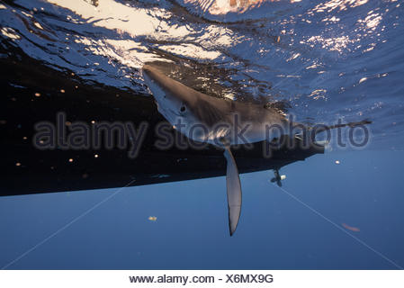A blue shark being tagged from the side of a boat off of Cat Island in the Bahamas. - Stock Photo