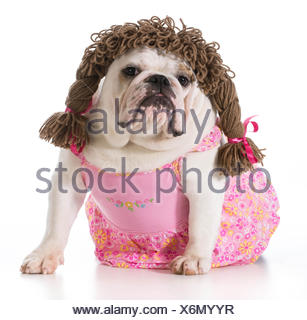 female dog - english bulldog wearing pink dress and pigtail wig isolated on white background - Stock Photo