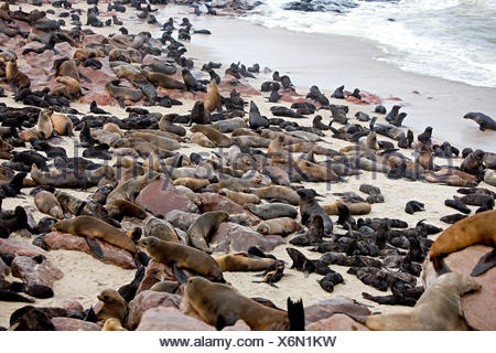 South African Fur Seal, arctocephalus pusillus, Colony at Cape Cross in Namibia - Stock Photo