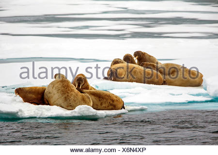 walrus (Odobenus rosmarus), walruses lying on drift ice, Norway, Svalbard - Stock Photo