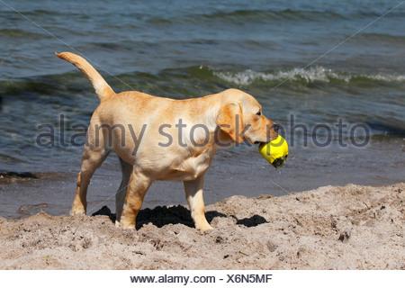 Yellow Labrador Retriever puppy playing, 4 months, retrieving a ball on the beach - Stock Photo