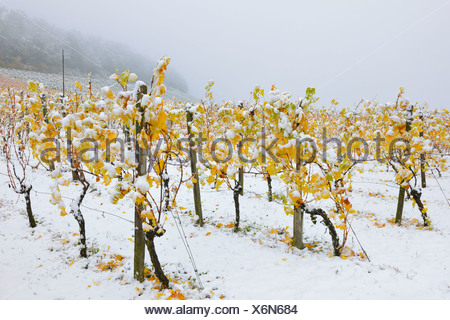 Vineyard in autumn with snow, Korb, wine-growing region of Remstal, Baden-Wuerttemberg - Stock Photo