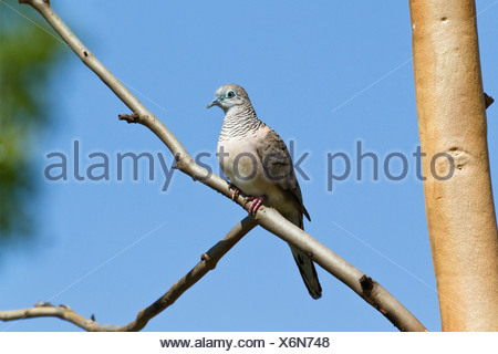gould's zebra dove (Geopelia placida), sitting on a branch, Australia, Queensland - Stock Photo