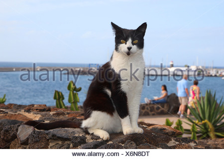 domestic cat, house cat (Felis silvestris f. catus), sitting on a stone wall at a beach promenade, Canary Islands, Lanzarote - Stock Photo