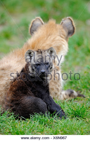 spotted hyena (Crocuta crocuta), pup with adult - Stock Photo