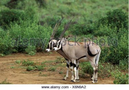 Beisa Oryx, oryx beisa, Males, Kenya - Stock Photo