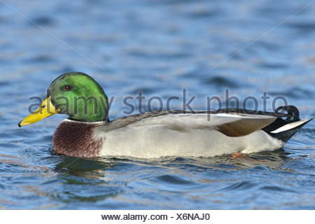 Mallard - Anas platyrhynchos - male - Stock Photo