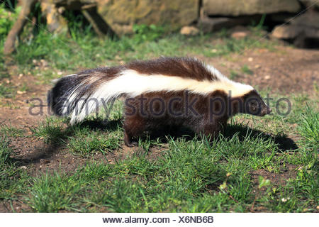 striped skunk (Mephitis mephitis), in a meadow - Stock Photo