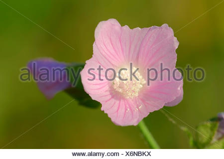 Vervain Mallow (Malva alcea), flower, North Rhine-Westphalia, Germany - Stock Photo