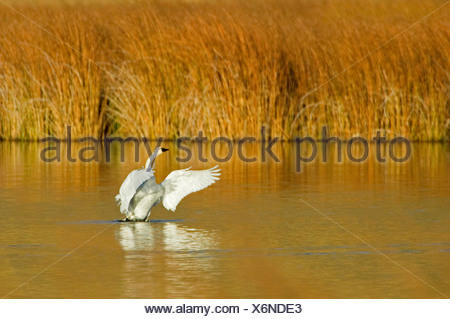 A Trumpeter swan (Cygnus buccinator) comes out of water on a beautiful fall day just south of Kamloops British Columbia Canada - Stock Photo