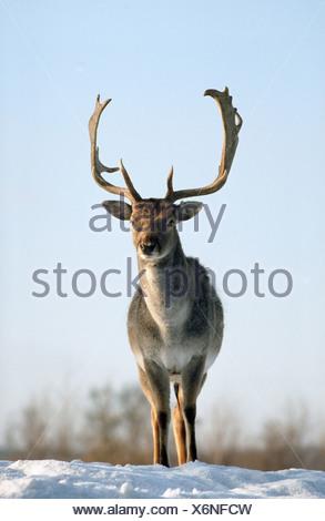 cervus dama / fallow deer in snow - Stock Photo