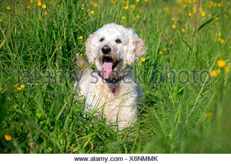 Labradoodle, adult, male, on meadow, Germany - Stock Photo