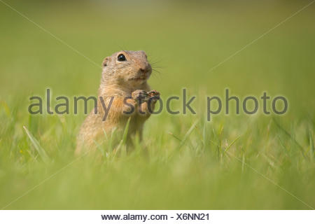 European Ground Squirrel or European Souslik (Spermophilus citellus) on a meadow, Lower Austria, Austria - Stock Photo