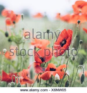 Close up of poppies in meadow - Stock Photo
