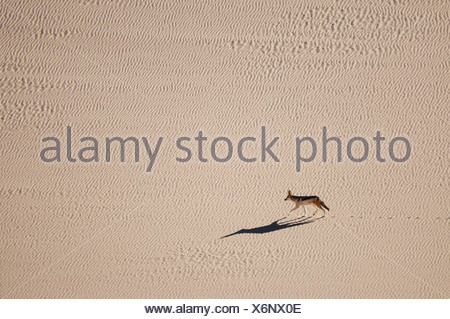 A black-backed jackal Canis mesomelas running across the sand dunes in Namib-Naukluft National Park Namibia - Stock Photo