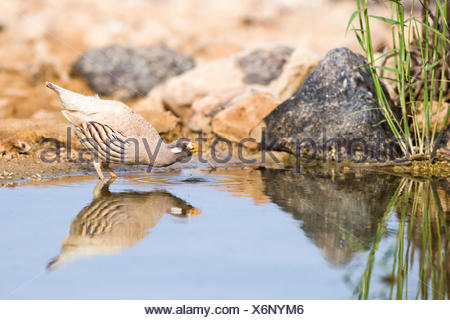sand partridge (Ammoperdix heyi) is a gamebird in the pheasant family Phasianidae of the order Galliformes, gallinaceous birds. - Stock Photo