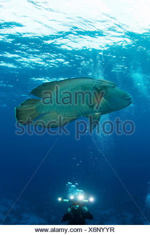 Scuba diver photographing Humphead whale (cheilinus undulatus), Red Sea, Marsa Alam, Egypt - Stock Photo