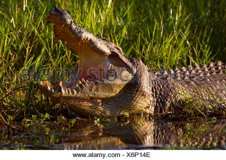 saltwater crocodile, estuarine crocodile (Crocodylus porosus), big Saltwater Crocodile lying at shore of a swamp with open snout showing off its big and dangerous teeth, Australia, Northern Territory - Stock Photo