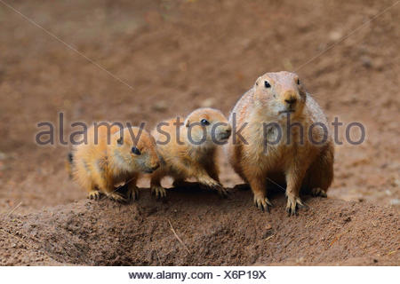 black-tailed prairie dog, Plains prairie dog (Cynomys ludovicianus), adult with two pups at the den - Stock Photo