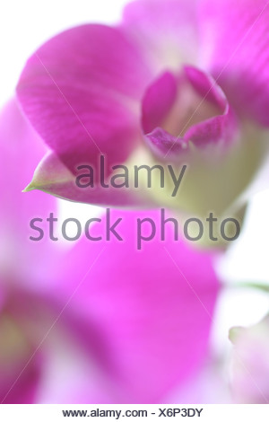 Dendrobium, antelope orchid - Stock Photo