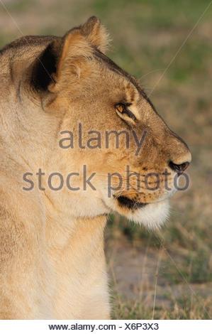 Lion (Panthera leo), portrait, Namutoni, Etosha National Park, Namibia - Stock Photo