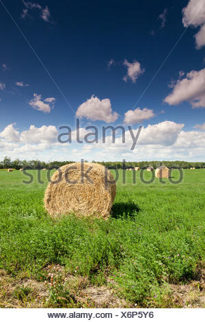 Round hay bales on a field near Hythe, Alberta, Canada - Stock Photo