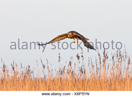 Marsh Harrier Circus aeruginosus female Cley Norfolk - Stock Photo