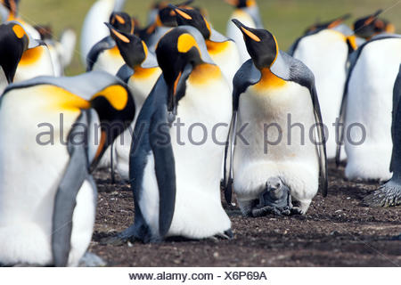 King penguins (Aptenodytes patagonicus), adult birds and chick, Volunteer Point, East Falkland, Falkland Icelands, South America - Stock Photo