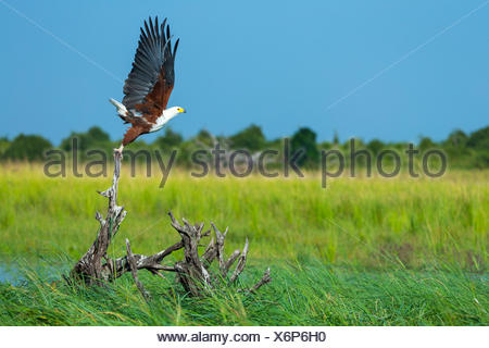 African Fish Eagle flying away - Kenya - Stock Photo