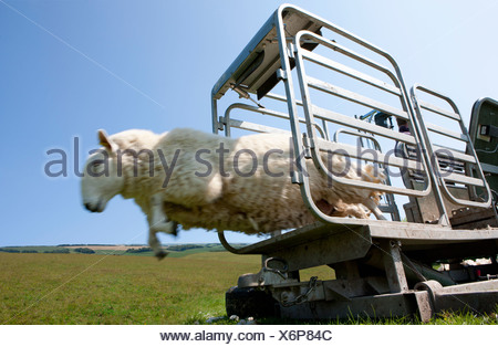 Sheep leaping out of animal pen into grass - Stock Photo