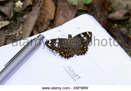 Spotted flat butterfly - Stock Photo