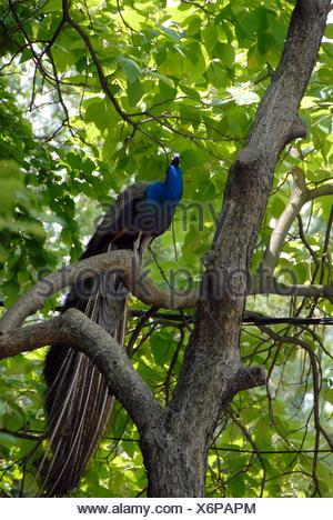 Peacock on tree - Stock Photo