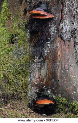 Rotrandiger Baumschwamm, (Fomitopsis pinicola), Bannwald, Pfrunger-Burgweiler Ried, Baden-Wuerttemberg, Deutschland - Stock Photo