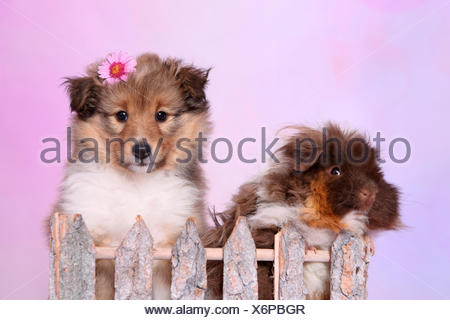 Shetland Sheepdog. Puppy (6 weeks old) and a long-haired guinea pig behind a fence. Studio picture against a pink background - Stock Photo